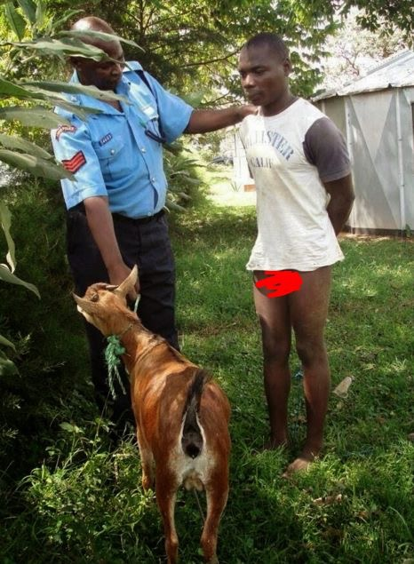 Man having sex with goat pic 91
